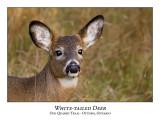 White-tailed Deer-023