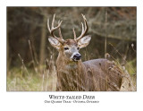 White-tailed Deer-024