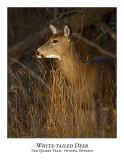 White-tailed Deer-025