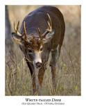 White-tailed Deer-026