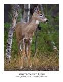 White-tailed Deer-028