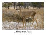 White-tailed Deer-030