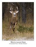 White-tailed Deer-031