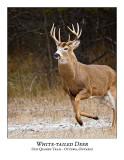 White-tailed-Deer-032