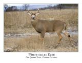 White-tailed Deer-033