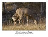 White-tailed Deer-034