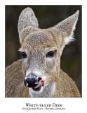 White-tailed Deer-035