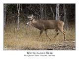 White-tailed Deer-036