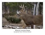 White-tailed Deer-037
