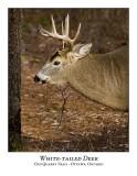 White-tailed Deer-038