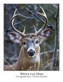 White-tail Deer-001