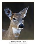 White-tail Deer-002