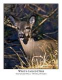 White-tail Deer-003