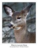 White-tailed Deer-004