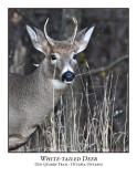 White-tailed Deer-005