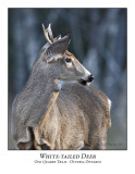 White-tailed Deer-007