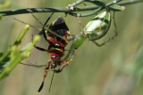 Assassin Bug gets his comeuppance
