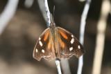 Nymphalidae - Brushfoots