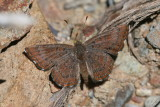 Wright's Metalmark (Calephelis wrighti)