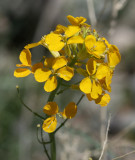 Western Wallflower    (?)