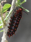 Pipevine Swallowtail (Battus philenor) - larva