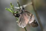 Pacuvius Duskywing (Erynnis pacuvius pacuvius)