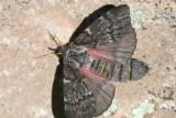 Doris' Pinemoth (Coloradia doris) - female