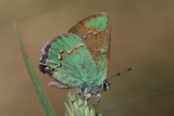 Western Green Hairstreak (Callophrys affinis apama)