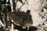 Mexican Cloudywing (Thorybes mexicana)