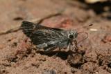 Cassus Roadside-Skipper (Amblyscirtes cassus)