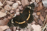 Bordered Patch (Chlosyne lacinia crocale)