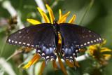 Baird's Swallowtail (Papilio machaon bairdii) - female