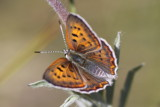 Ferris's Ruddy Copper (Lycaena rubidus ferrisi) - female