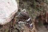 Arizona Mottled-Skipper (Contractus arizonensis)