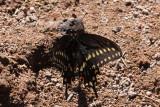 Black Swallowtail (Papilio polyxenes asterius)