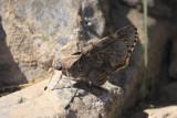 Bauer's Giant-Skipper (Agathymus baueri baueri)