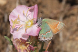 Juniper Hairstreak (Callophrys gryneus siva)