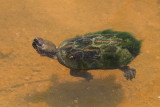 Sonora Mud Turtle (Kinosternon senoriense)