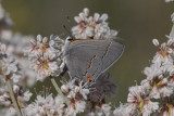Gray Hairstreak (Strymon melinus franki)