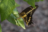 Giant Swallowtail (Papilio cresphontes) - oviposting