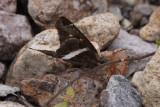 White-striped Longtail (Chiodes albofasciatus)