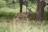 Couse Deer