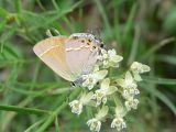 Siva Juniper Hairstreak (Callophryus gryneus siva)