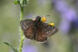 Meridian Duskywing (Erynnis meridianus)