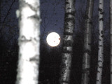 Full Moon through the birches