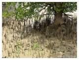 Pneumatophores around the mangrove tree