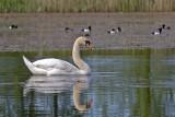 Mute Swan, Knoppsvane