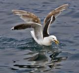 Great black-backed gull. Svartbak