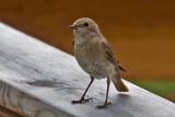 Common Redstart. Rødstjert