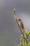Common Rosefinch. Rosenfink
